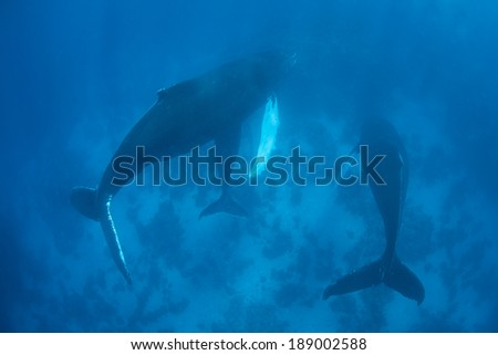 A trio of Humpback whales (Megaptera novaeangliae) swim in the warm Caribbean Sea. The trio is made up of a mother, calf, and male escort.