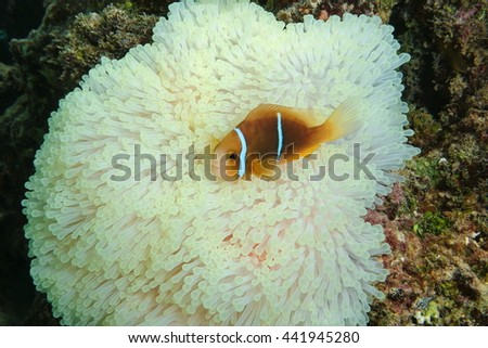 A tropical fish orange-fin anemonefish, Amphiprion chrysopterus, on sea anemone tentacles, Maupiti island, Pacific ocean, French Polynesia - stock photo