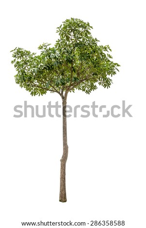A Tropical Tree isolated against a white background