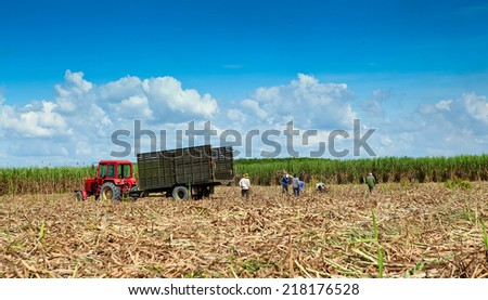 A truck havesting sugarcane on summer day - stock photo