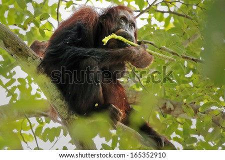 A truly Wild Endangered female Bornean Orangutan (Pongo pygmaeus) eats seed pods in a Cassia javanica tree (AKA Java Cassia, Pink Shower, Apple Blossom & Rainbow Shower Tree) in the jungles of Borneo. - stock photo
