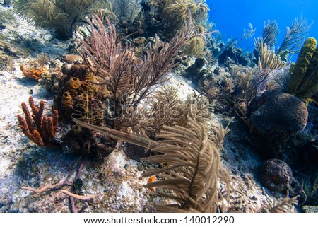A trumpet fish starting to hunt its prey - stock photo