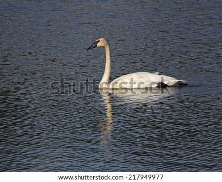 A Trumpeter Swan (Cygnus buccinator) swimming in the Grand River, in Cambridge, Ontario, Canada.