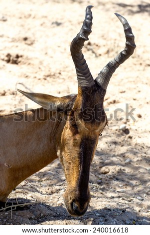 A Tsessebe (Damaliscus lunatus) stood facing the camera, in natural setting, South Africa, Kgalagadi - stock photo