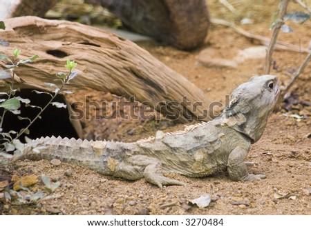 A Tuatara Rare New Zealand Lizard