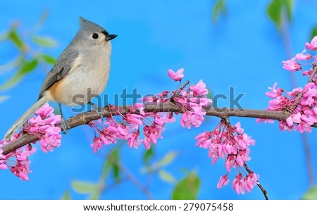 A Tufted Titmouse (Baeolophus bicolor) on the branch of a flowering redbud tree with blue sky in the background. - stock photo