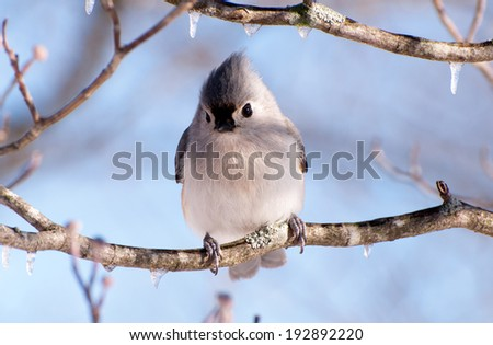 A tufted titmouse sitting in an icy tree. - stock photo