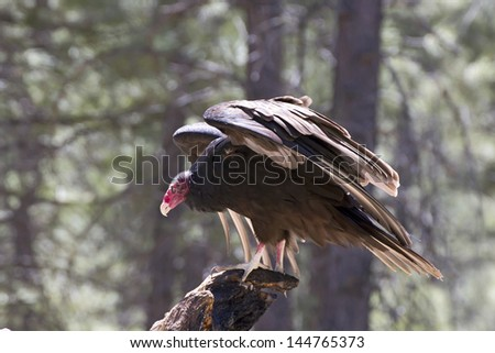 A turkey vulture bird (Cathartes aura) landing on a tree in forest.