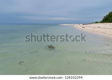 A Turtle in Malaysia Sipadan Island crystal water sand shore - stock photo