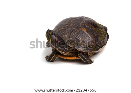 A turtle isolated on a white background.