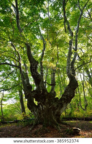 A twisted old Japanese beech tree called Agariko Daio grows in the forest