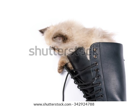 A two month old Blue Point Himalayan Persian kitten in a knee high black lace up combat boot - stock photo