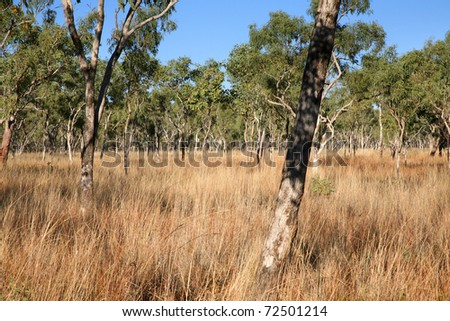 A typical eucalypyus forest in the remote outback of the central Kimberley region on northwest Australia. - stock photo