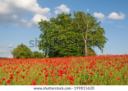 A typical landscape with blooming corn poppies and an oak tree in Bavaria - stock photo