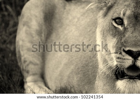 A unique abstract monochrome photo of a lioness in Pumba game reserve,eastern cape,south africa - stock photo