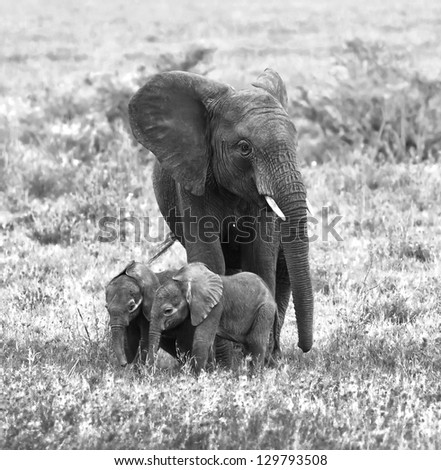A unique female elephant with two of the young in the Serengeti National Park - Tanzania, Africa (black and white) - stock photo