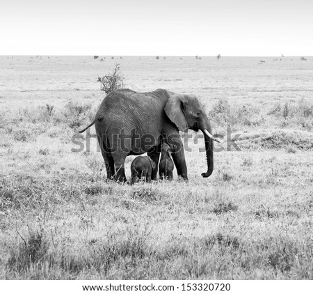 A unique female elephant with two of the young on the Serengeti National Park - Tanzania (black and white) - stock photo