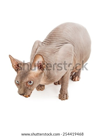 A unique hairless Sphynx cat eating a treat - stock photo