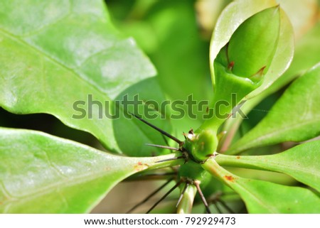 A unique prickly shrub plants. Pereskia bleo (Wax Rose, rose cactus, leaf cactus) ; The greenish flower buds, together with green leaves at tip. There are sharp thorn spread widely out on branches.