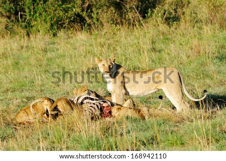 A upright lioness and cubs eating killed zebra - stock photo