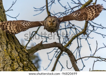 A Ural Owl flies out of a tree toward the camera
