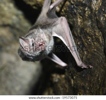 A vampire bat baring its fangs for the camera - stock photo