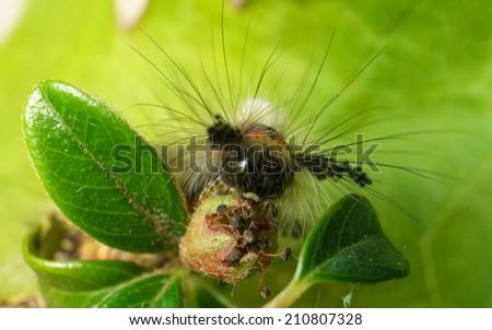 A Vapourer moth caterpillar feeding - stock photo