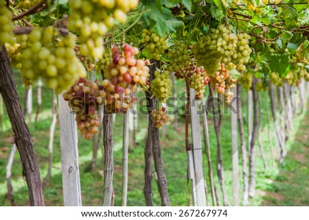 A variety of grapes in autumn harvest. - stock photo