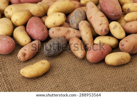 a variety of small, elongated fingerling potato organically grown in Colorado against burlap background, shallow depth of focus - stock photo