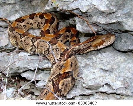 A venomous Timber Rattlesnake, Crotalus horridus, crawling on limestone bluff in forests of Missouri - stock photo