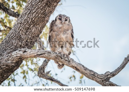 A Verreaux's eagle owl sitting on a branch in the Kruger National Park, South Africa.