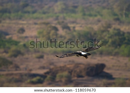 A Verreaux's eagle soaring in the African sky - stock photo