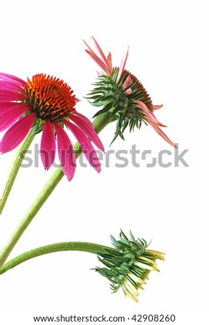 A vertical closeup of a cluster of cone flowers (echinacea) at different stages of development, isolated on white background.   It is a common medicinal herb for stimulating the immune system. - stock photo