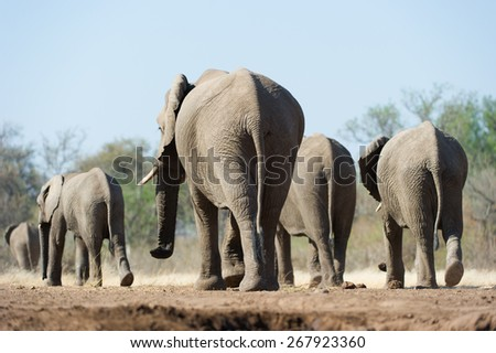 A vertical, colour photo of a small herd of elephants walking away in the dust of the Tuli block, Botswana. - stock photo