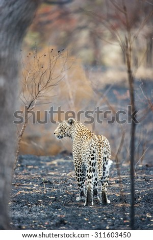 A vertical, colour photograph of a leopard, Panthera pardus, walking on burnt earth at Elephant Plains, Sabi Sands Game Reserve, Mpumalanga province, South Africa. - stock photo