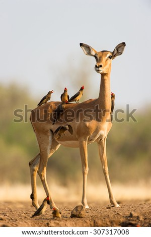 A vertical colour photograph of an alert  impala doe covered with a small flock of  red-billed buffalo weavers, Buphagus erythrorhynchus, in Mashatu Game Reserve, Northern Tuli, Botswana.