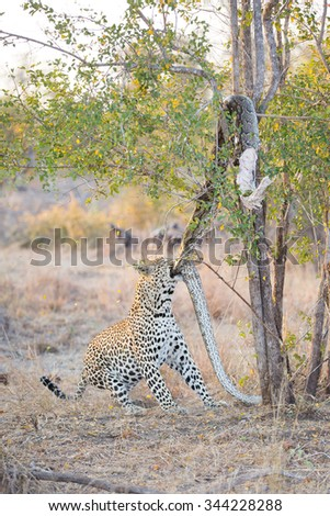 A vertical, full length, colour photograph of a leopard tugging at a large, dead African rock python, lodged in the branches of a small tree at Elephant Plains, Sabi Sands Game Reserve, South Africa. - stock photo