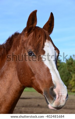 A vertical head shot of chestnut Arabian gelding with blaze and snip facial markings - stock photo