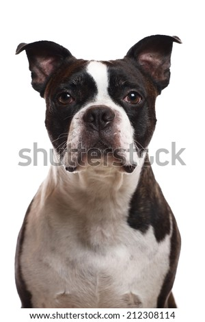 A vertical image of a Boston Terrier - stock photo