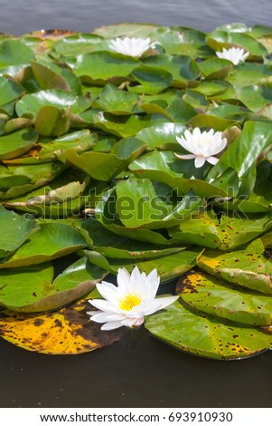 A vertical image of water lilies with white flowers