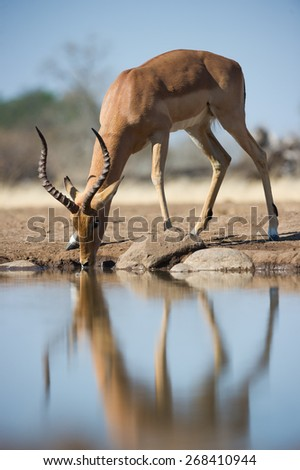 A vertical, low angle, colour image of an impala ram drinking at a waterhole - stock photo