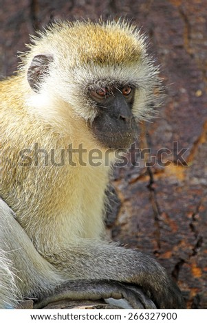 A vervet monkey, Chlorocebus pygerythrus, sitting on a tree. This monkey inhabits savanna, woodland and forest and they are able to persist in highly fragmented vegetation and cultivated areas. - stock photo