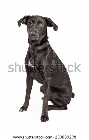 A very attentive Australian Shepherd and Labrador Retriever Mix Breed Dog sitting at an angle while looking forward.  - stock photo