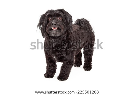 A very attentive Havanese Dog standing at an angle facing forward with open mouth. - stock photo