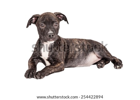 A very attentive Staffordshire Bull Terrier Mixed Breed 4 month old puppy is laying at an angle while looking into the camera.