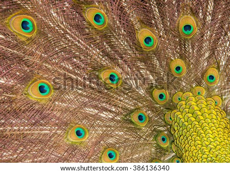 A very close up color image of the pattern on an Indian Peacock feather at Magnolia Gardens in South Carolina. - stock photo