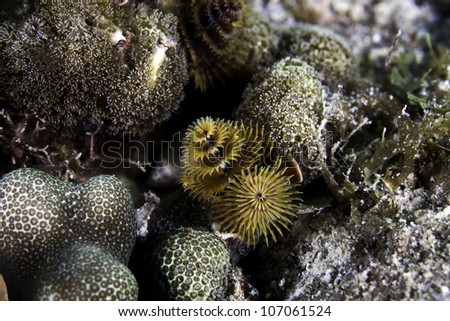 A very close up macro shot of christmas tree tube worms growing on a barrier coral reef in the Atlantic Ocean. Inside the John Pennekamp State Park in Key Largo, Florida - stock photo
