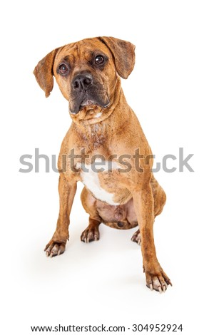 A very curious large Boxer and Pit Bull dog sitting with front legs set apart at an angle.