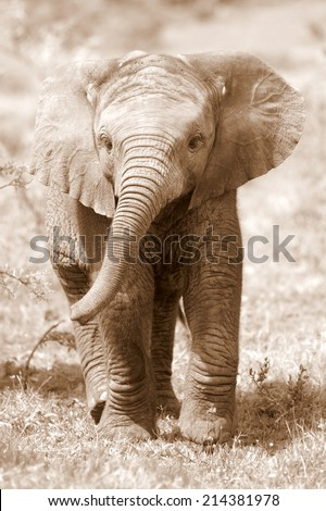 A very cute baby elephant calf in this sepia tone image. - stock photo
