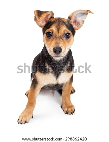 A very cute Chihuahua Mixed Breed Three Month Old Puppy sitting with ears cocked, while looking directly into the camera.